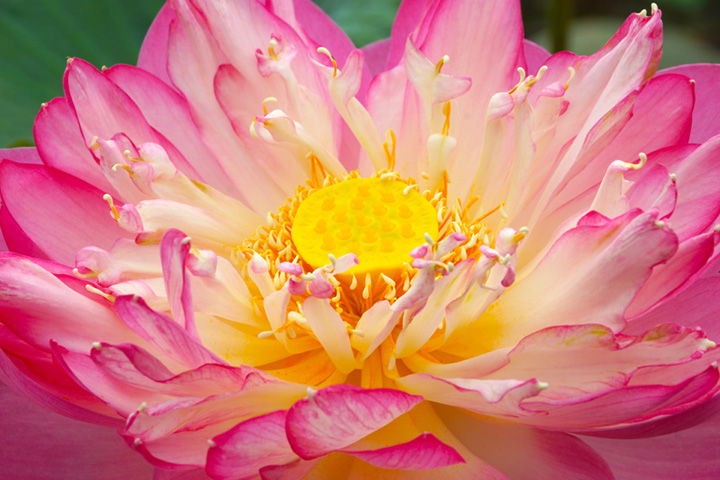 Geöffnete rosafarbene Lotusblüte mit gelben Blütenstempel